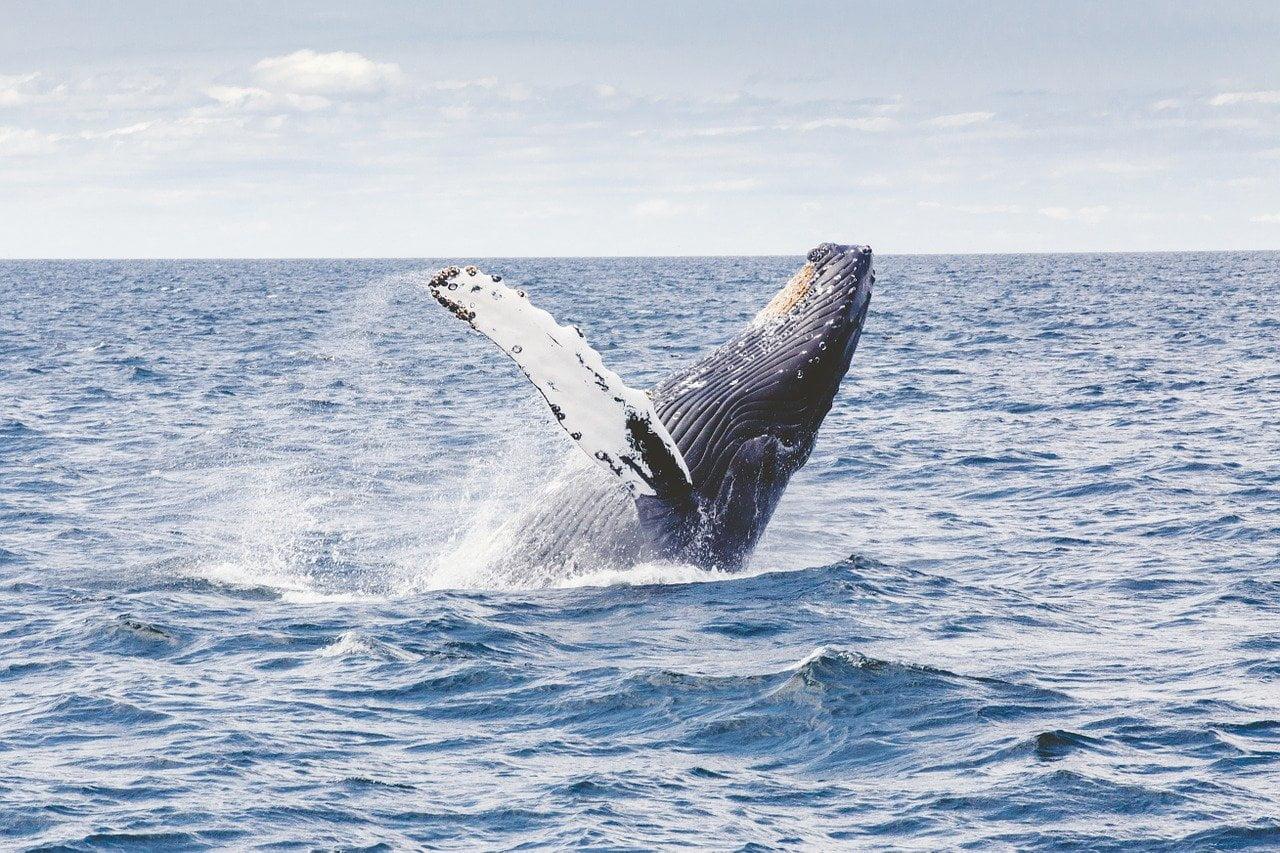 humpback whale, whale, marine